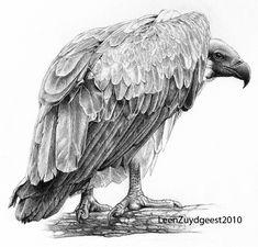 White-backed vulture by LeenZuydgeest.deviantart.com on @deviantART