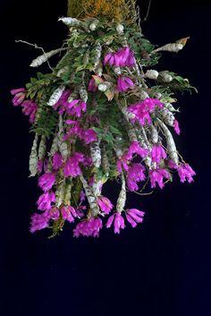 Orchids in Bloom: Dendrobium limpidum 'Ashley'