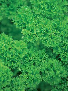 Grow robust parsley plants that are rich in vitamins and minerals with high yield parsley seeds available from Burpee seeds. Find parsley seeds and other quality herb seeds that are organic and add flavor to many dishes in stock at Burpee today. Fresh Herbs, Fresh Fruit, Parsley Plant, Burpee Seeds, Herb Seeds, Growing Herbs, Camping Survival, Burpees, Potpourri