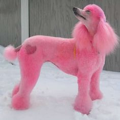 """Find out even more information on """"poodle puppies"""". Take a look at our internet site. Poodle Grooming, Pet Grooming, Pink Animals, Cute Animals, Nature Animals, Cortes Poodle, Cute Puppies, Cute Dogs, Poodle Puppies"""