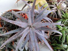 Aloe sp. by A.Banu, via Flickr