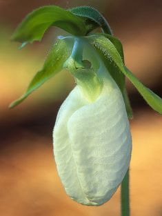 White-form ot the Pink-Lady's-Slipper - Cypripedium acaule, by ER Post, via Flickr