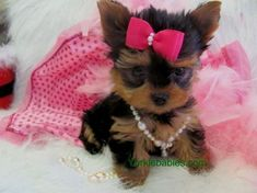 Yorkie Breed Information, Teacup Yorkie Care, About Yorkie Breed