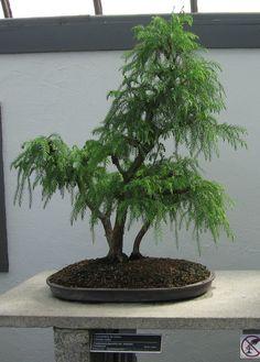 File:Cryptomeria japonica - JBM.jpg