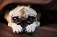 Little pug waits for his story before bedtime