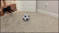 """Animated KITTEN GIF • Woah! Lionel Messi Kitty playing soccer he is fast and purrious. """"This Kitten is a winner for the National Cat soccer."""""""