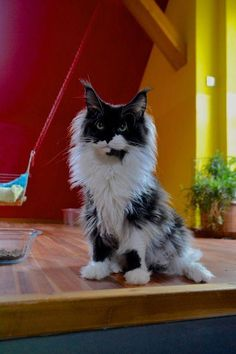 Maine Coon Cat Click the Photo For More Adorable and Cute Cat Videos and Photos Pretty Cats, Beautiful Cats, Animals Beautiful, Cute Animals, Baby Animals, Funny Animals, Kittens Cutest, Cats And Kittens, Cats Meowing