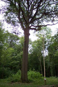 Chêne Saint Lucien, forêt de Hez 2003   Venez découvrir les forêts de l'Oise !   © Oise Tourisme Lucien, Oise, Saint, Trunks, Plants, Tourism, Drift Wood, Tree Trunks, Plant