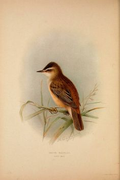 The British warblers; By Howard, Henry Eliot,...