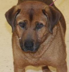 Henry County Animal Control Shelter, McDonough, GA 770-288-PETS (7387) Shamus is an adoptable Hound Dog in McDonough, GA. I am a sweet and loving soul that needs a lifetime companion to give me the home that I deserve. I was picked up as a stray, so my friends here at th...