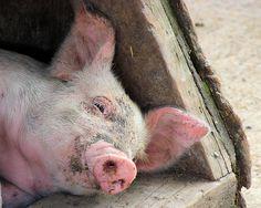 Pink Piggy With Blue Eyes by nellliz2000, via Flickr