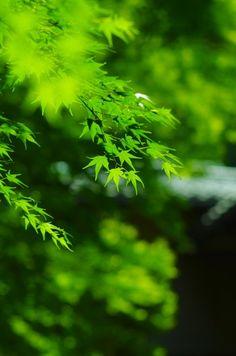 Ruriko-in Temple, Kyoto, Japan 瑠璃光院、京都 #Kyoto #Green #緑