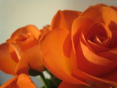 Orange roses on autumn sun