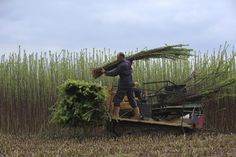 Credit: Sam Frost Workers harvest willow ready for processing. The family firm has 70 acres of land on the Somerset Levels, each planted wit...
