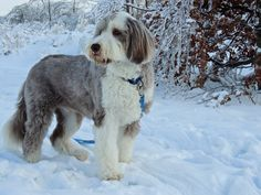 Chester the bearded collie enjoys his winter snow day walks.