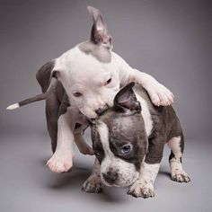 Uplifting So You Want A American Pit Bull Terrier Ideas. Fabulous So You Want A American Pit Bull Terrier Ideas. Pit Puppies, Rottweiler Puppies, Animals And Pets, Baby Animals, Cute Animals, Pitbull Terrier, Pitbull Pups, I Love Dogs, Cute Dogs