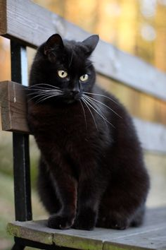 love my black cat--pepper kitty! Black cats are the sweetest cats ever. They're always treated different because of the black cat crossing your path superstition. I Love Cats, Crazy Cats, Cute Cats, Funny Cats, Adorable Kittens, Beautiful Cats, Animals Beautiful, Simply Beautiful, Cute Baby Animals