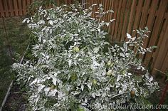 Cornstarch - Tomatoes best friend - safe alternative to poisons - helps deter many garden pests that feed on tomatoes