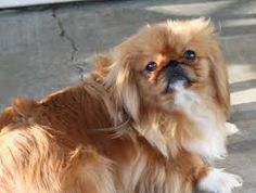 littlest pet shop pekingese puppy - Google Search Pekingese Puppies, Little Pets, Pet Shop, Google Search, Dogs, Animals, Pet Store, Animales, Animaux