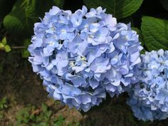 Garden Trends: HOW TO TURN HYDRANGEAS BLUE