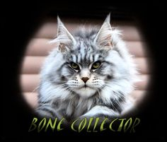 Breeding Maine Coon Stud Cats of Congocoon Cattery:  Bone Collector