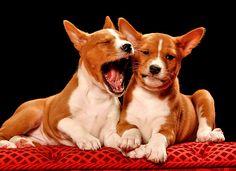 Cute Puppy Pictures Basenji Breath