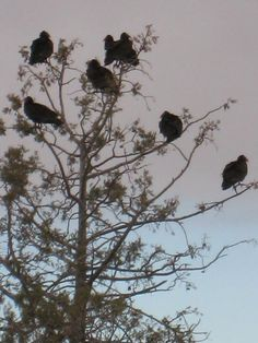 What do vultures in a near-dead tree in our backyard MEAN?