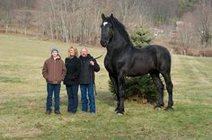 Black Percheron Stallion he stands 19 hands high his nickname is Moose