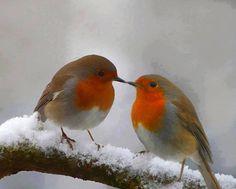 Vörösbegy pár....