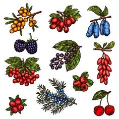 Illustration of Farm garden and wild forest berry fruits vector art, clipart and stock vectors. Image 105323481.