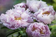 pivonka-kvet Flower Photos, Valentines, Flowers, Plants, Compost, Valentine's Day Diy, Valentines Day, Plant, Valentine's Day
