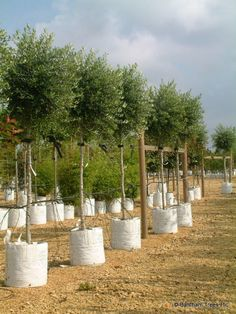 Buy Olive Trees | Olea europaea full std www.barcham.co.uk