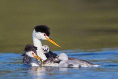Clark's Grebe.  PHoto: Vivek Khanzode/Audubon Photography Awards.