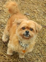 Mr. Big is an adoptable Shih Tzu Dog in Muncie, IN. Adoption fees for dogs are $150.Ask about senior rates.ARF's adoption hours are Tues, Wed, and Thur 1-5pm & Sat Noon-3pm. We can hold animals for ...