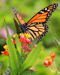 Monarch Butterfly - almost none have been seen in New England this summer. The Mexico migration was down 59% last year.