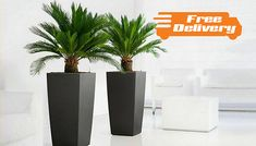 Save 63% and bring a tropical touch to conservatories with this Pair of King Sago Palm Trees for £29.99 instead of £79.99