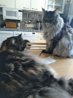 Maine Coon Kater Spirit und Mystery beim Notizen machen Mystery, Cats, Animals, Gatos, Animais, Animales, Kitty Cats, Animaux, Animal