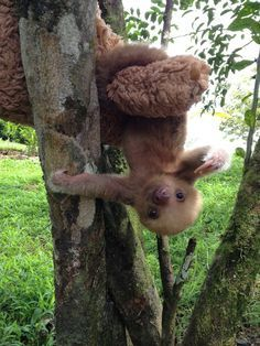 Look at this cute little guy hanging upside down. Find more of him on our blog!: http://all-things-sloth.com/sloth-blog/