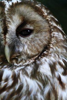 Owl. S)
