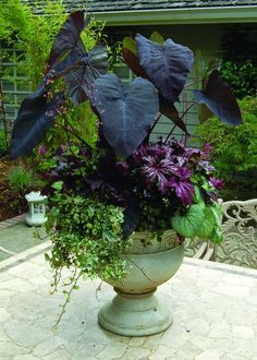 """Container Gardening -""""Purple Passion"""" container combines the rich, eye-catching tones of Colocasia 'Black Magic', Brunnera 'Jack Frost', Begonia 'Benitochiba', and Heuchera 'Black Beauty'. Outdoor Plants, Outdoor Gardens, Gothic Garden, Pot Jardin, Heuchera, Garden Cottage, Plantation, Garden Planters, Big Planters"""