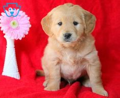Dart | Goldendoodle - Miniature Puppy For Sale | Keystone Puppies