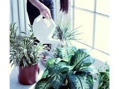 Overwatering can contribute to the growth of mold, and any water that leaks on to the floor invites ... - Reader's Digest
