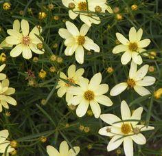 Coreopsis - Tickseed verticillata 'Moonbeam' In garden by air conditioner