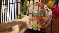 Ricey masters the Mini Maze. You can find this manipulative foraging toy at http://www.busybeaks.com/85006_maze.htm.