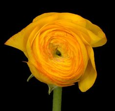 Yellow Ranunculus, 10 stems/bunch, $15/bunch, $1.50/stem