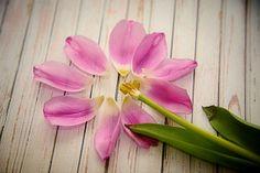 Pink Tulip Petals Pink Flower photo Flower by NatureImagesByDesign, $35.00 #pinktulip #flowerpetals #spring #deconstructedflower