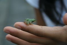 One my kids' favorite things to do in Japan is collect tadpoles from the rice paddies near my in-laws' house and watch them grow into frogs. Our 10-year-old friend caught this tiny frog last summer. IMG_4129 by SaraFFujimura, via Flickr