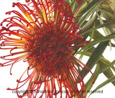 Detail of Leucospermum Watercolour by Fiona Strickland Botanical Painting Course