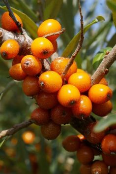About Sea Buckthorn Berries. Many things are found in mother nature that provide excellent life giving nutrients, but something like sea buckthorn which is packed with so many varieties of nourishing and nurturing elements, is nothing short of a miracle. Berry, Natural Medicine, Fruit Trees, Fruits And Vegetables, Herbal Remedies, Superfood, Shrubs, Herbalism, Seeds