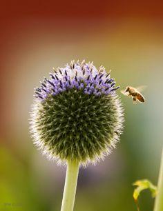 Bien og tistelen